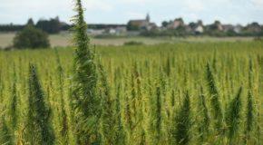 Promising Marijuana Research to Treat Dementia Blocked by US Regulations