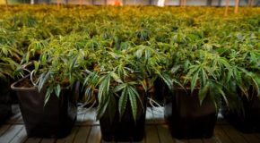 Cannabidiol May Restore Learning and Memory in Schizophrenics