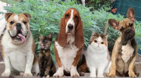 How Medical Cannabis Could Heal Your Pets